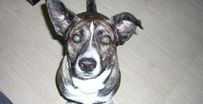 Bullhuahua Terrier Dog Breed Information All You Need To Know