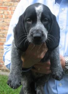 Basset Heeler Dog Breed Information All You Need To Know