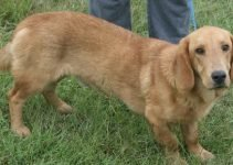 Basset Retriever Dog Breed Information All You Need To Know
