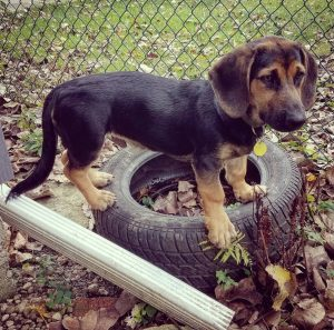 Basset Shepherd Dog Breed Information All You Need To Know