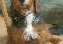 Bassetoodle Dog Breed Information – All You Need To Know
