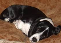 Basston Dog Breed Information All You Need To Know