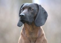 Bavarian Mountain Scent Hound Dog Breed Information All You Need To Know
