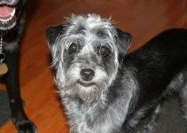 Best Dog Products For Mini Bolonauzer