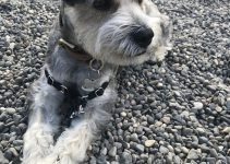 5 Best Dog Products For Mini Schnauzer Chin (Reviews Updated 2021)