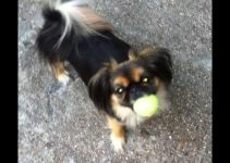 Best Dog Products For Peke A Pap