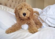 5 Best Dog Products For Petite Goldendoodle (Reviews Updated 2021)
