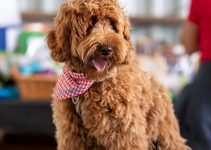 Best Dog Products For Petite Labradoodle