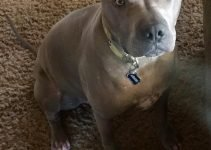 Best Dog Products For Pit Pei