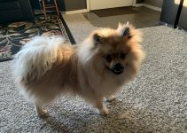 5 Best Dog Products For Pomerat (Reviews Updated 2021)