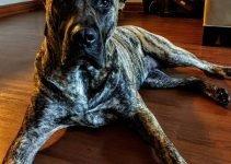 Best Dog Products For Presa Dane