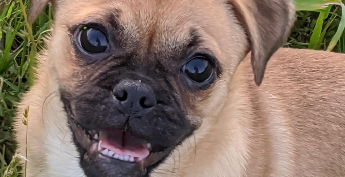 Best Dog Products For Pug Zu