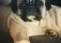 Best Dog Products For Puginese