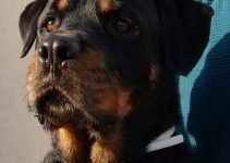 Best Dog Products For Rottie Bordeaux