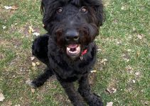 5 Best Dog Products For Russian Doodle Terriers (Reviews Updated 2021)