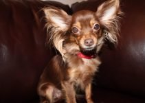 5 Best Dog Products For Russian Toy Terrier (Reviews Updated 2021)
