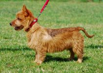 5 Best Dog Products For Rustralian Terriers (Reviews Updated 2021)