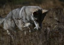5 Best Dog Products For Saarloos Wolfdogs (Reviews Updated 2021)
