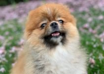 5 Best Dog Products for Peek-A-Poms (Reviews Updated 2021)