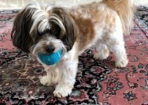 5 Best Dog Products for Ratshi Terriers (Reviews Updated 2021)