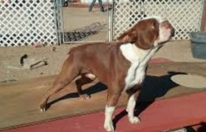 Bostie Dog Breed Information All You Need To Know