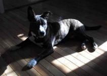 Boston Cattle Dog Breed Information All You Need To Know