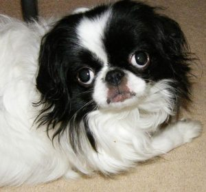 Boston Chin Dog Breed Information All You Need To Know