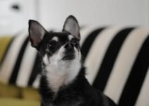 Boston Huahua Dog Breed Information All You Need To Know