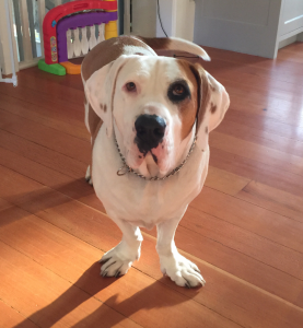 Bully Basset Dog Breed Information All You Need To Know