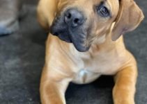 Bully Bordeaux Dog Breed Information – All You Need To Know