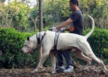 Bully Kutta Dog Breed Information – All You Need To Know