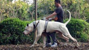 Bully Kutta Dog Breed Information All You Need To Know