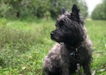 Bushland Terrier Dog Breed Information All You Need To Know