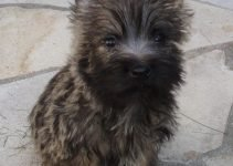 Cairn Australian Shepterrier Dog Breed Information All You Need To Know