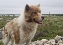 Canadian Eskimo Dog Breed Information – All You Need To Know