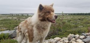 Canadian Eskimo Dog Breed Information All You Need To Know