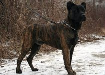Cao De Castro Laboreiro Dog Breed Information All You Need To Know