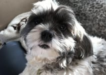 Care Tzu Dog Breed Information All You Need To Know