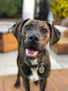 Catahoula Leopard Dog Breed Information All You Need To Know