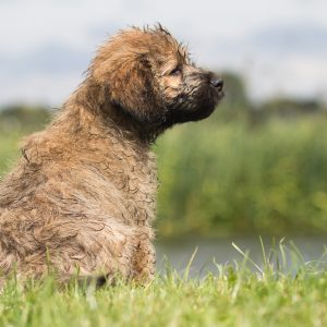 Catalan Sheepdog Dog Breed Information All You Need To Know