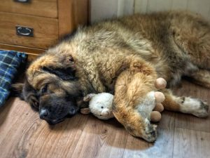 Caucasian Shepherd Mountain Dog Breed Information All You Need To Know