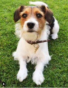 Cav A Jack Dog Breed Information All You Need To Know