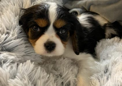 Cav A Mo Dog Breed Information All You Need To Know