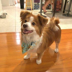Cava Corgi Dog Breed Information All You Need To Know