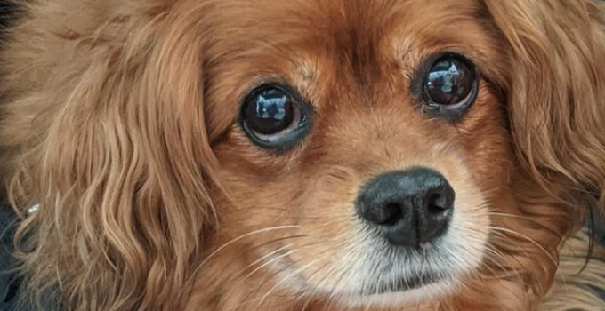 Cavapom Dog Breed Information All You Need To Know
