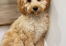Cavapoo Dog Breed Information – All You Need To Know