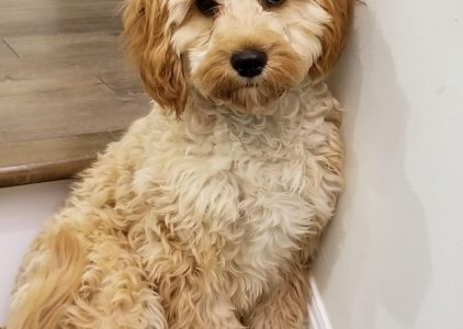 Cavapoo Dog Breed Information All You Need To Know