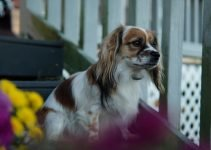 Cavottish Dog Breed Information All You Need To Know