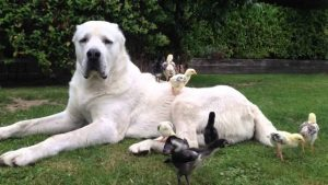 Central Asian Shepherd Dog Breed Information All You Need To Know