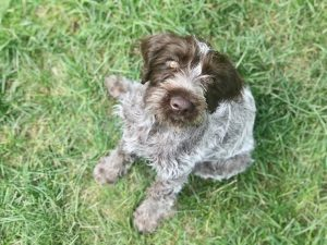 Cesky Fousek Dog Breed Information All You Need To Know